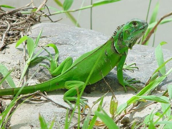 Cuidados de la iguana - Animalear