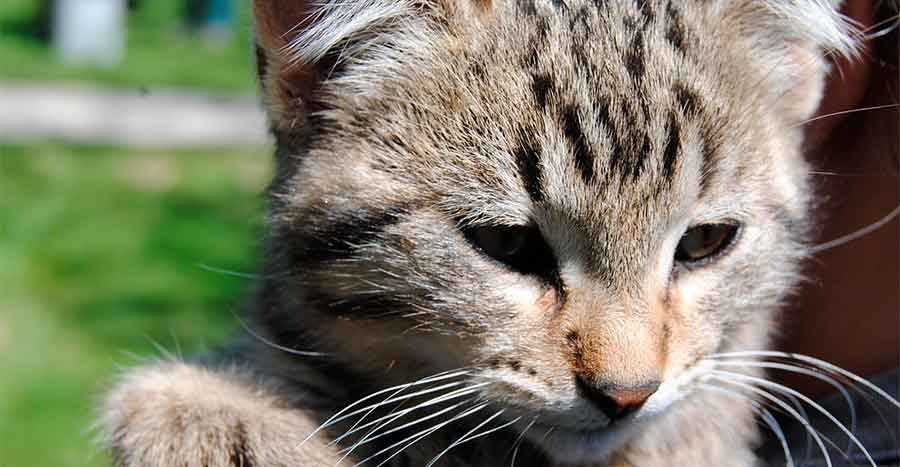 Esterilizar-Gato-Animalear