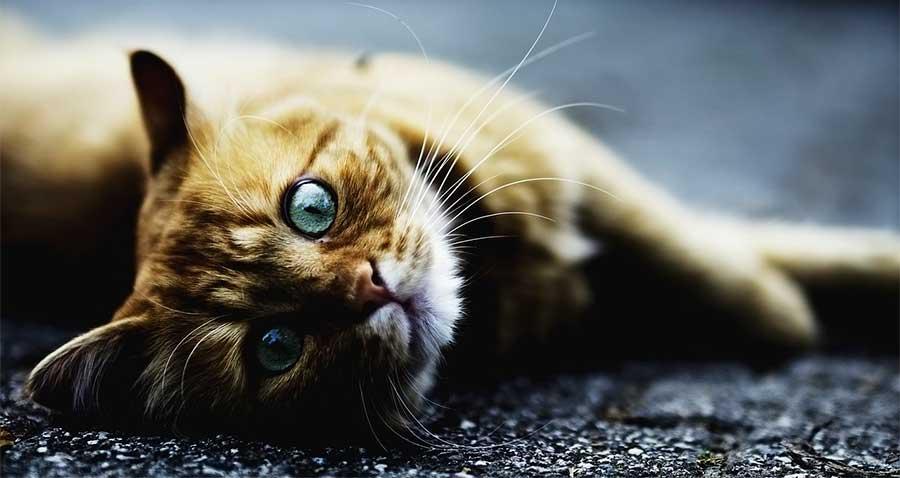 Gato_Cuidados_Animalear