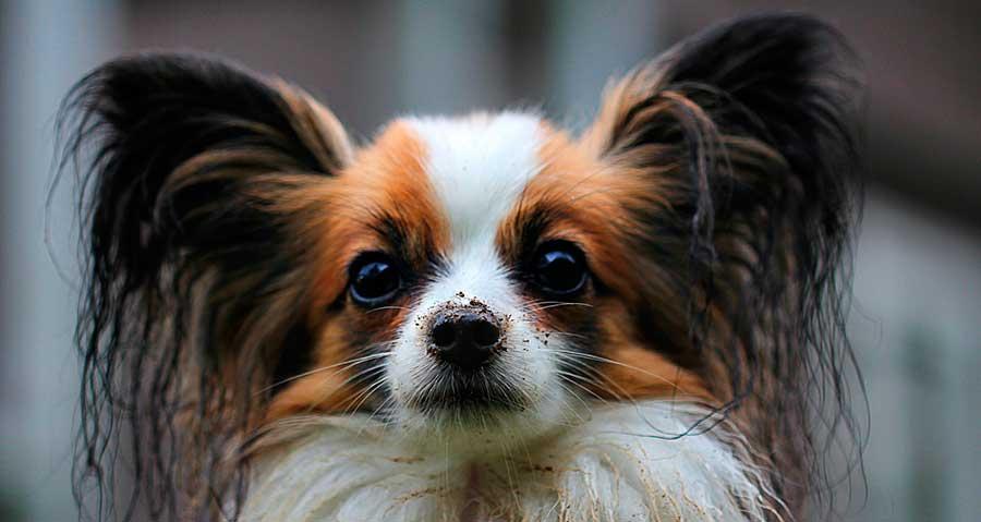 Consejos para la limpieza de oídos en perros y gatos
