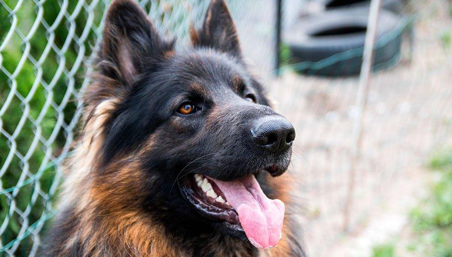 Higiene-Dental-Perros-Animalear
