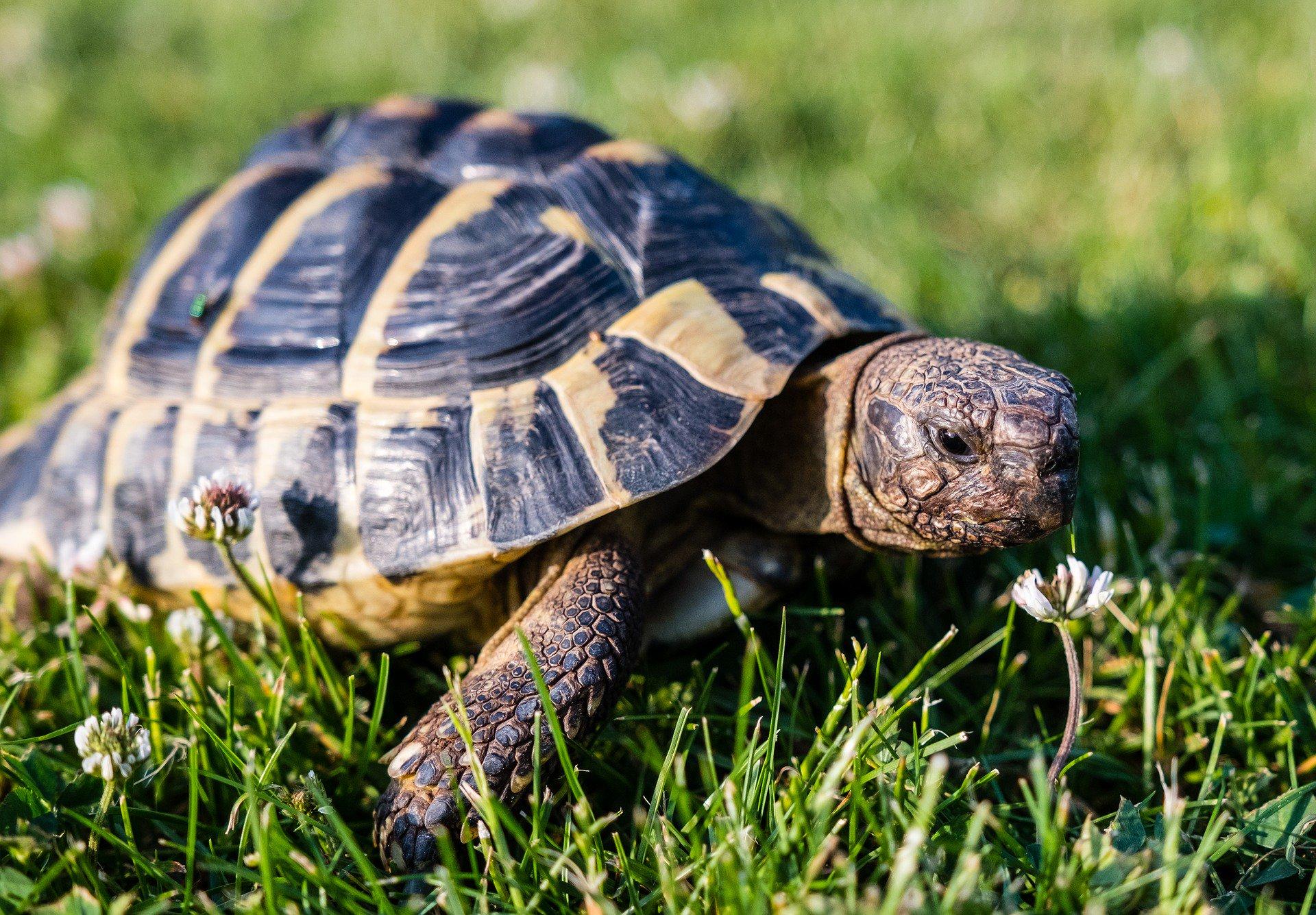 Por qué las tortugas son tan lentas? - Animalear.com